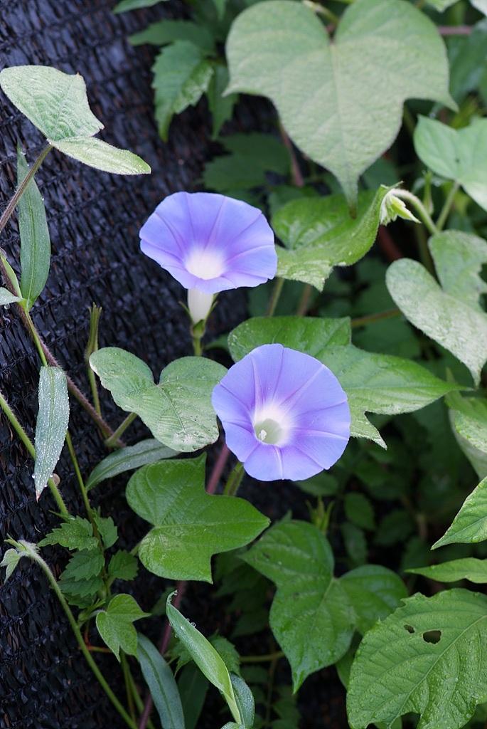 나팔꽃, Pharbitis nil (L.) Choisy