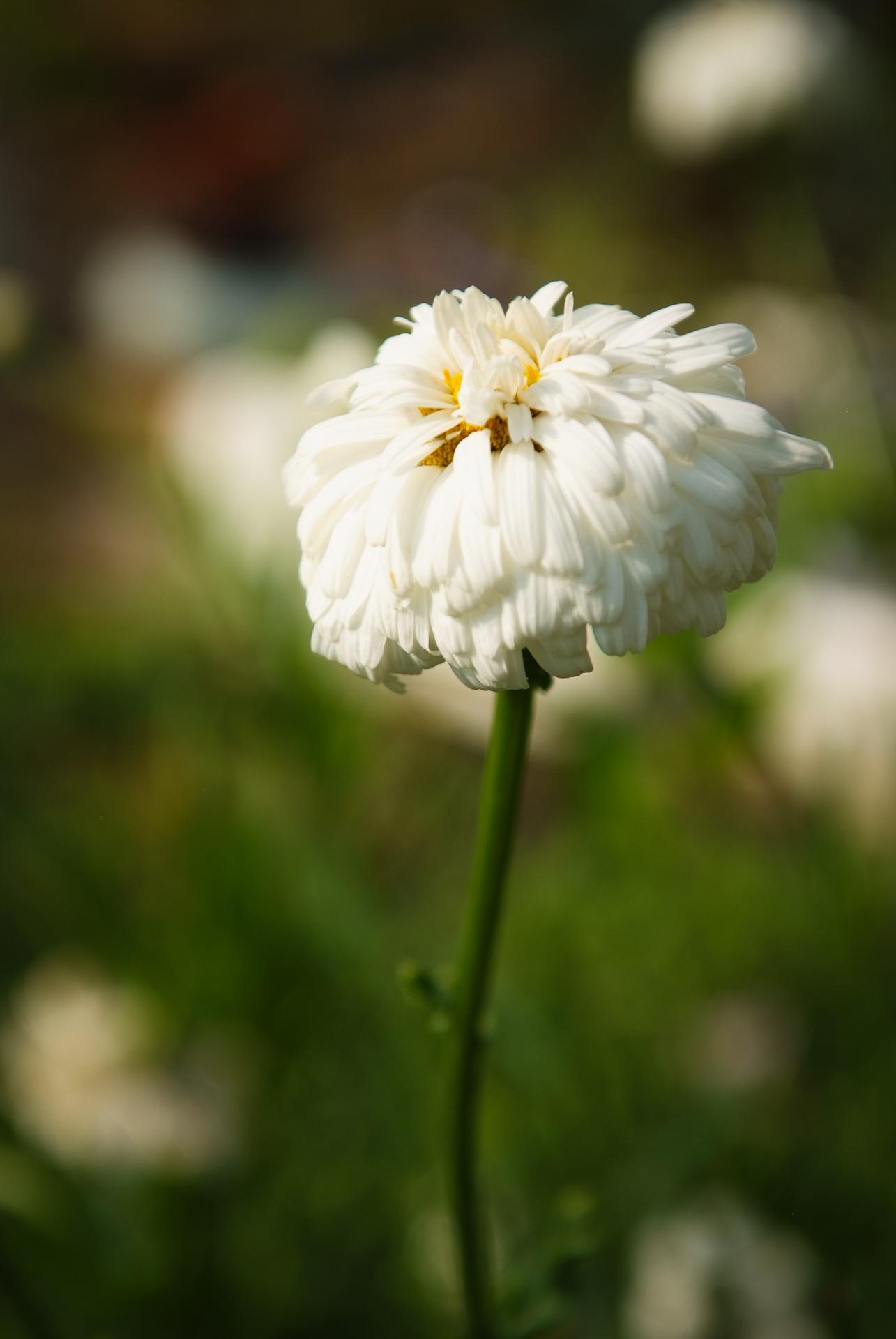 샤스타데이지, Leucanthemum x superbum