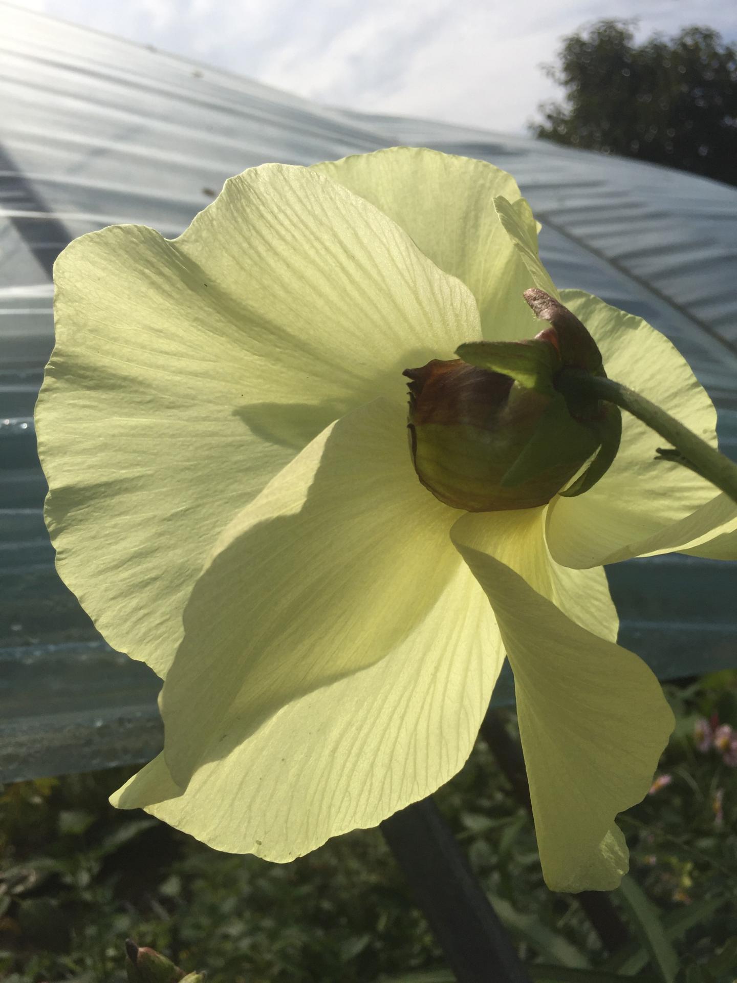 닥풀, Hibiscus manihot L.