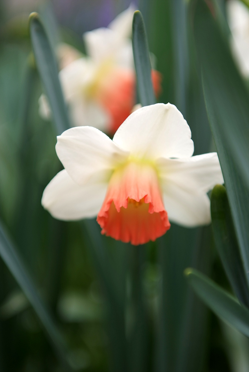 수선화, Narcissus tazetta var. chinensis