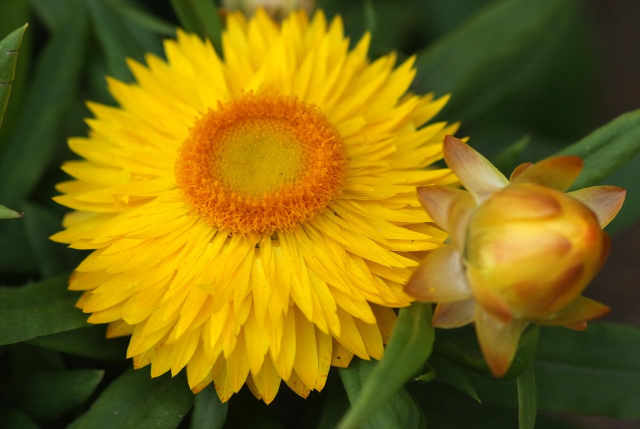 밀짚꽃, Helichrysum bracteatum