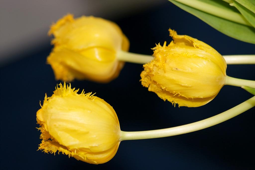 튤립, Tulipa gesneriana