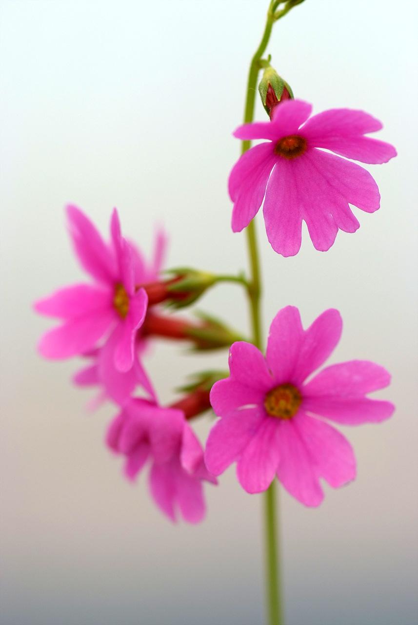 큰앵초, Primula jesoana Miq.