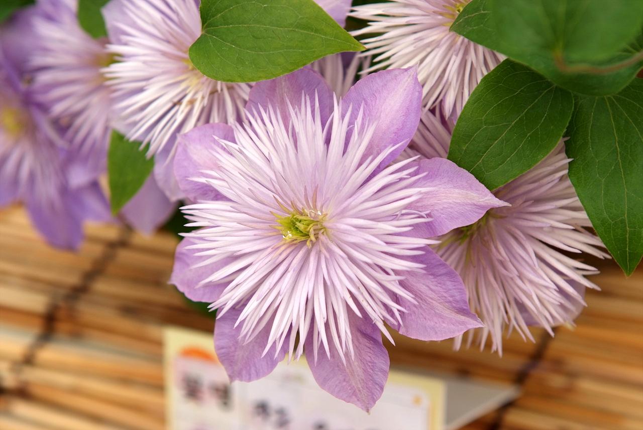 꽃으아리, Clematis florida