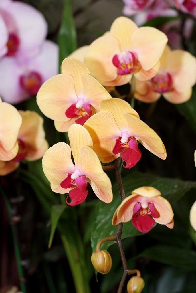 호접란, phalaenopsis
