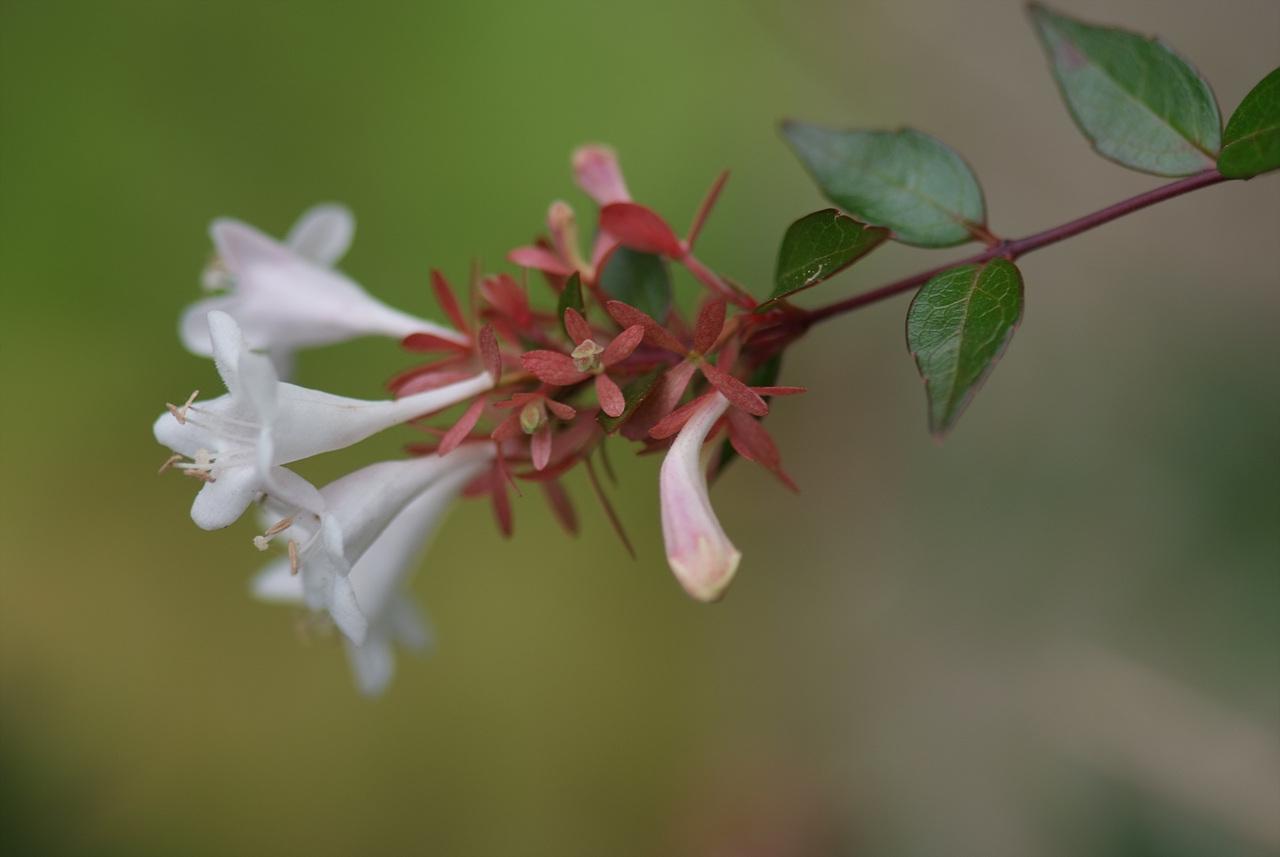 꽃댕강나무, Abelia mosanensis T.H.Chung