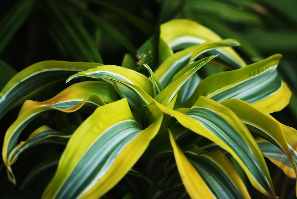 아나나스, Ananas spp.