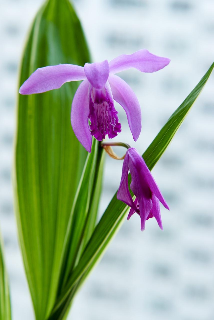 자란, Bletilla striata (Thunb. ex Murray) Rchb.f.