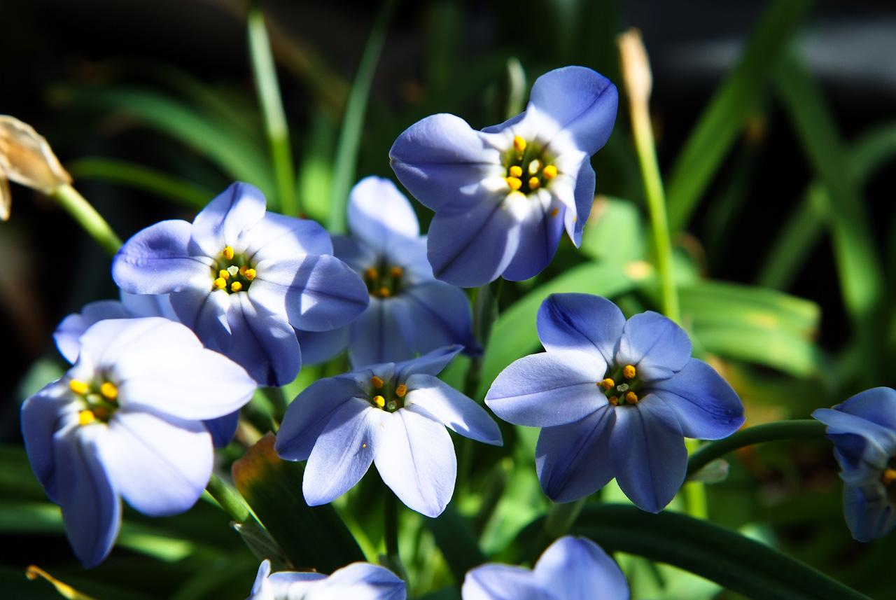 향기별꽃, Ipheion uniflorum