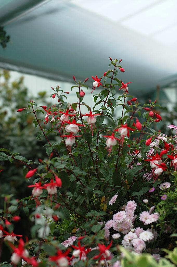 후쿠시아, Fuchsia spp.