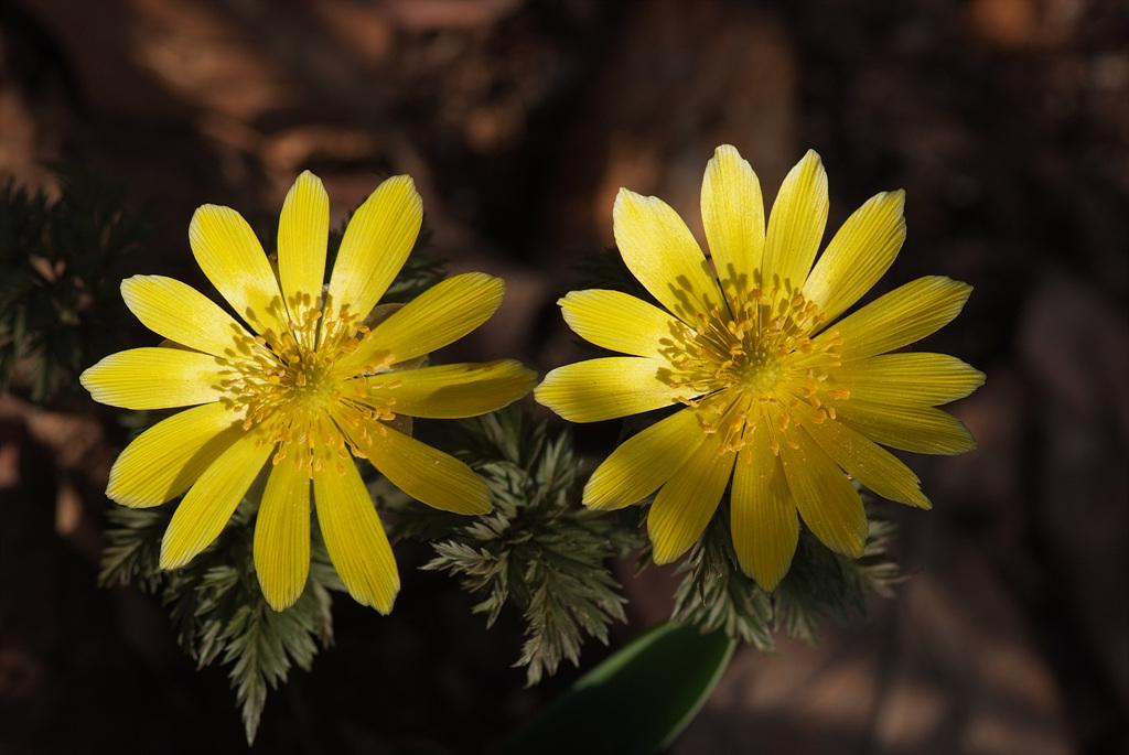 복수초, Adonis amurensis