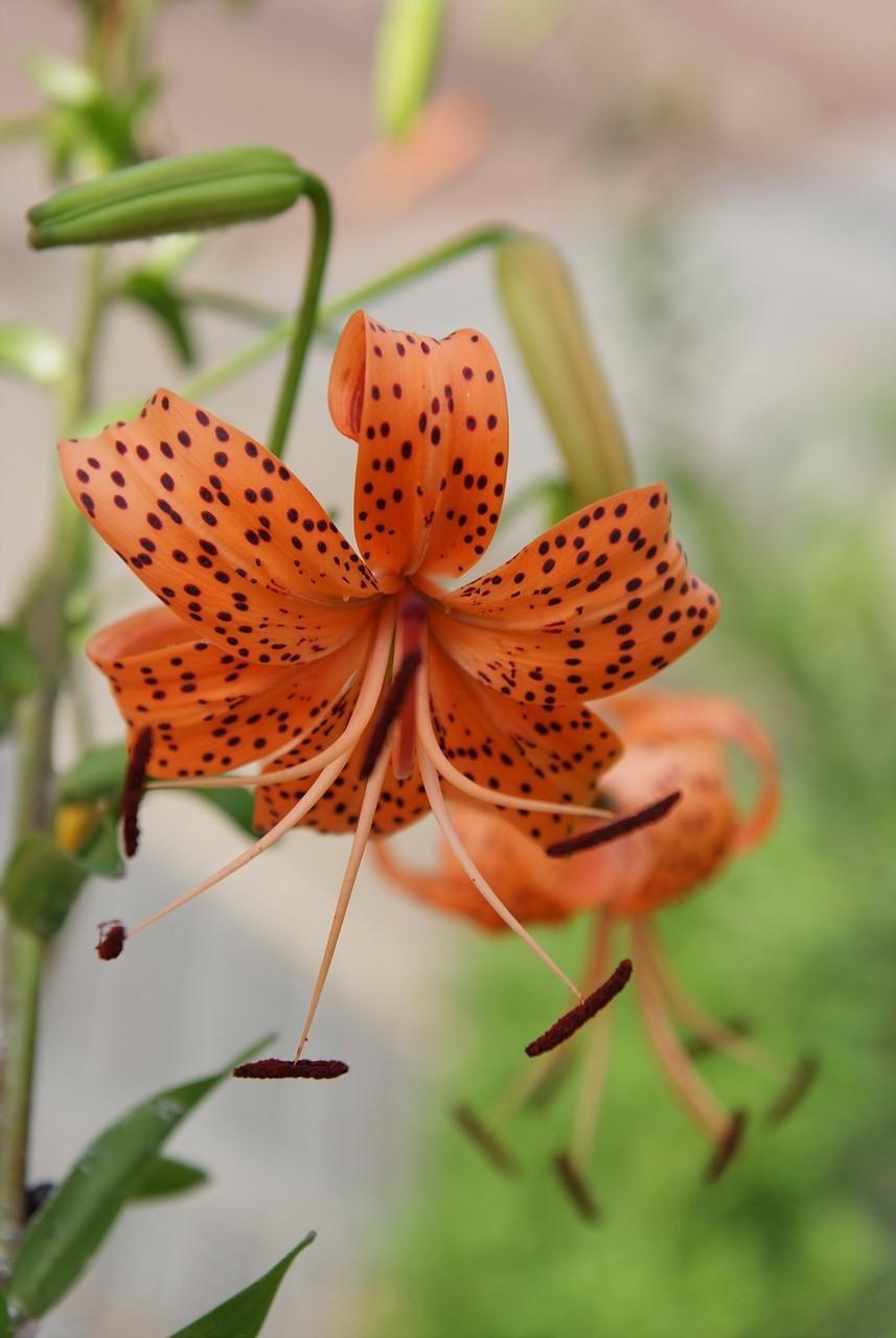 참나리, Lilium tigrinum