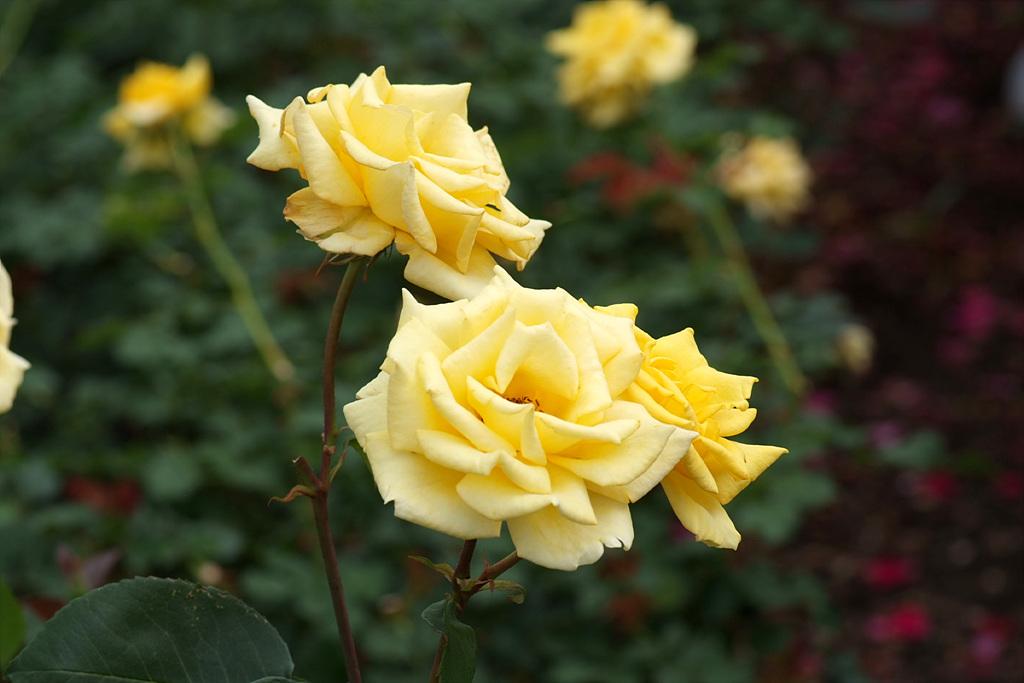 장미, Rosa hybrida