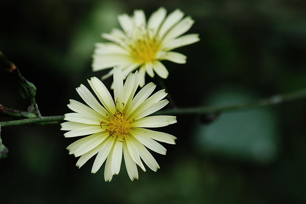 고들빼기, Crepidiastrum sonchifolium (Bunge) Pak & Kawano