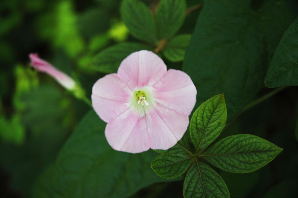 메꽃, Calystegia japonica