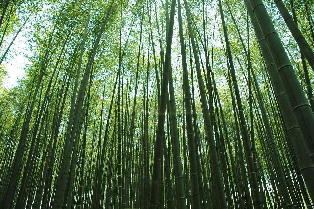대나무, Bambuseae