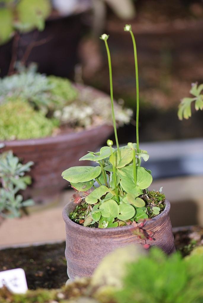 물매화, Parnassia palustris L.