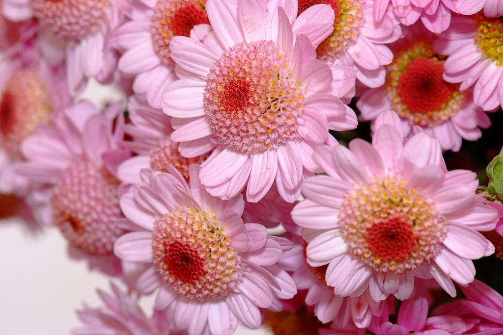 국화, Chrysanthemum morifolium Ramat.
