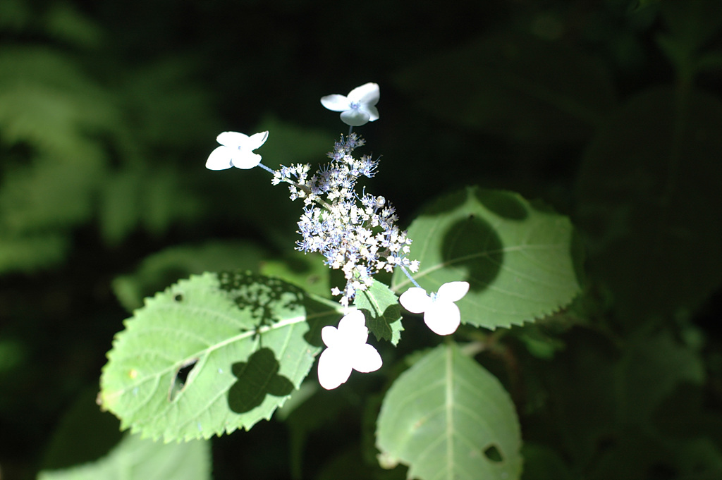 산수국, Hydrangea serrata for. acuminata