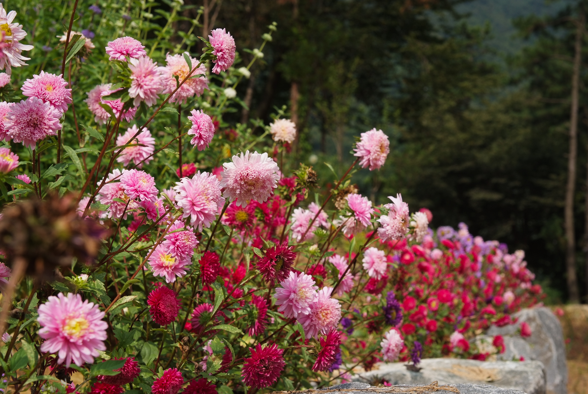 과꽃, Callistephus chinensis