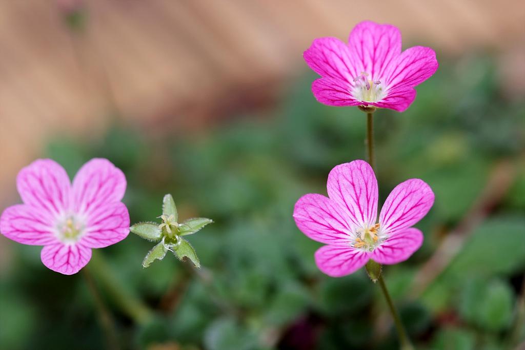 이질풀, Geranium thunbergii Siebold & Zucc.