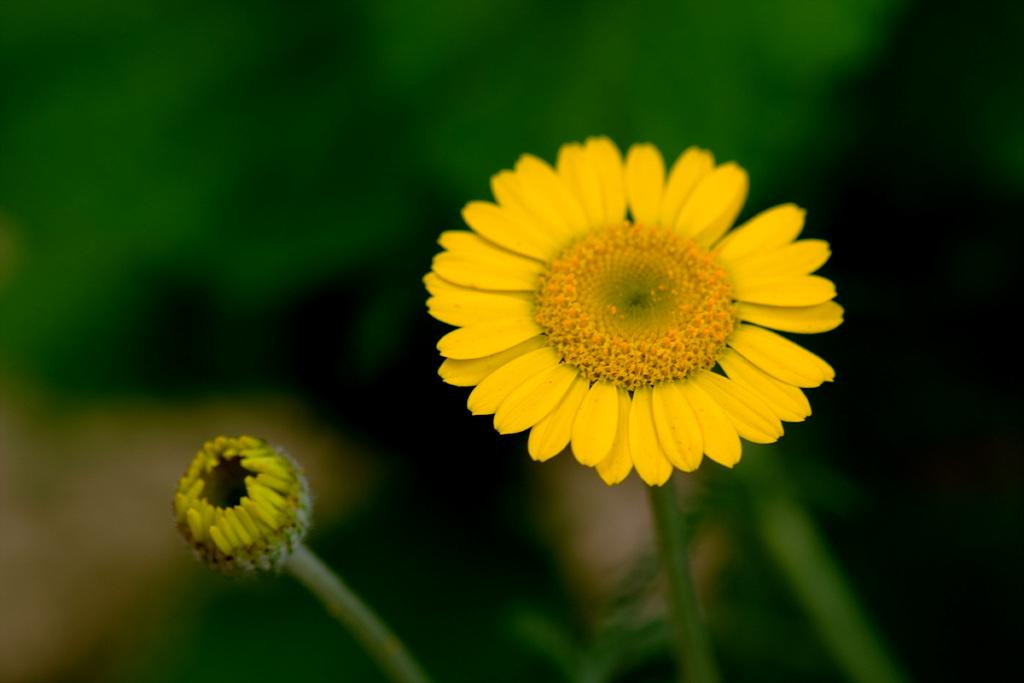 마가렛, Chrysanthemum frutescens L.