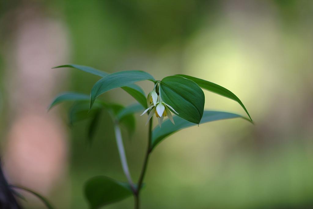 둥굴레, Polygonatum odoratum var.pluriflorum