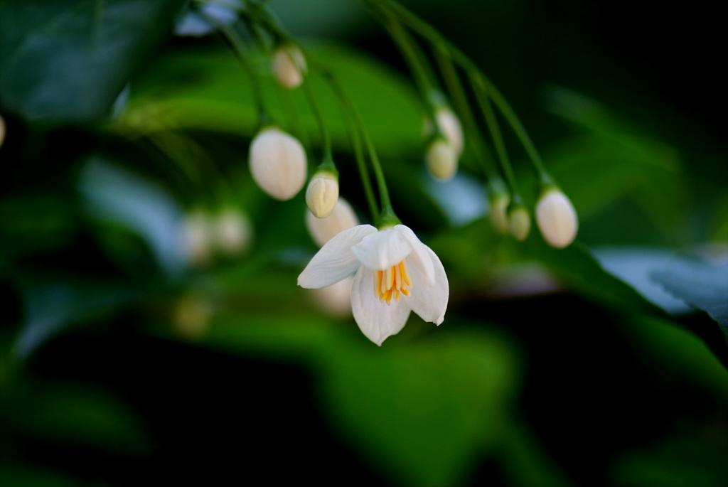 때죽나무, Styrax japonica