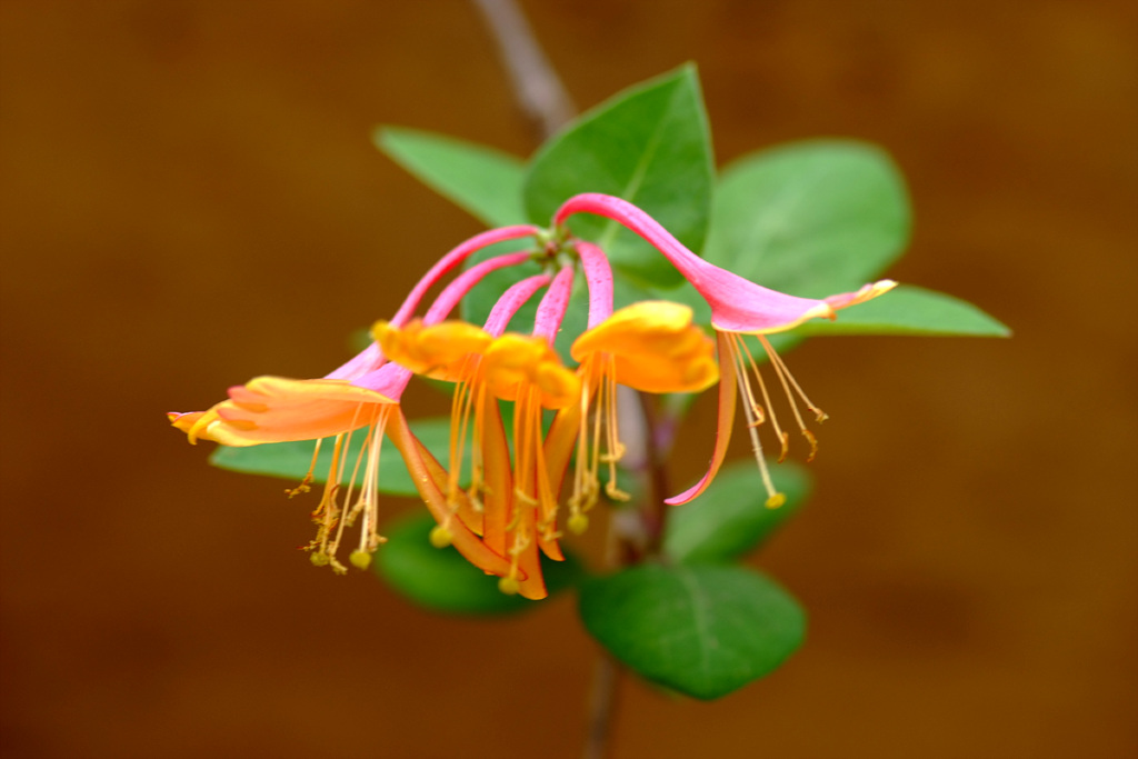 인동덩굴, Lonicera japonica Thunb.