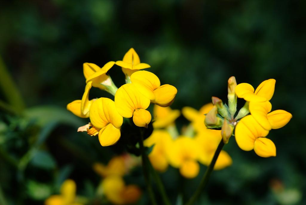 벌노랑이, Lotus corniculatus var. japonicus