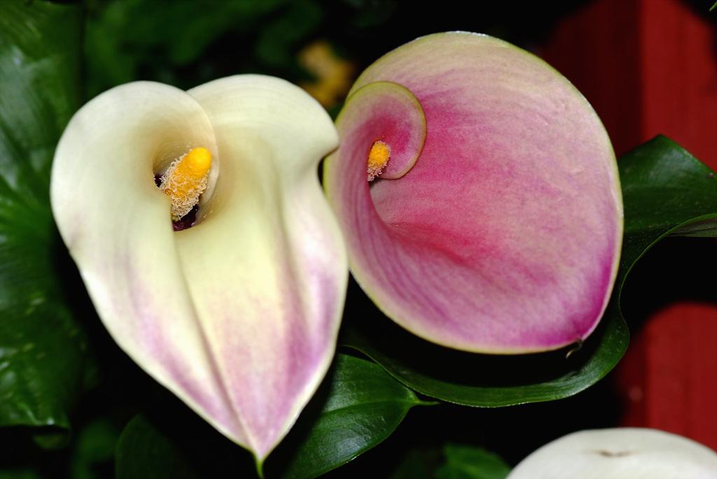 칼라, Zantedeschia aethiopica