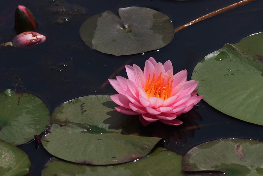 연꽃, Nelumbo nucifera