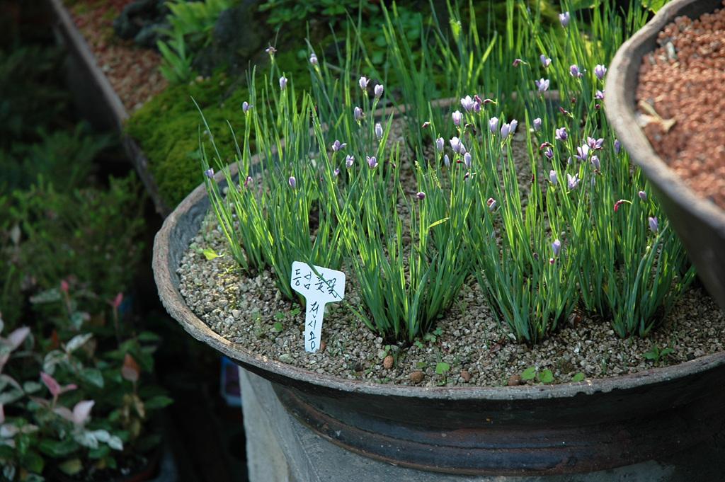 등심붓꽃, Sisyrinchium angustifolium