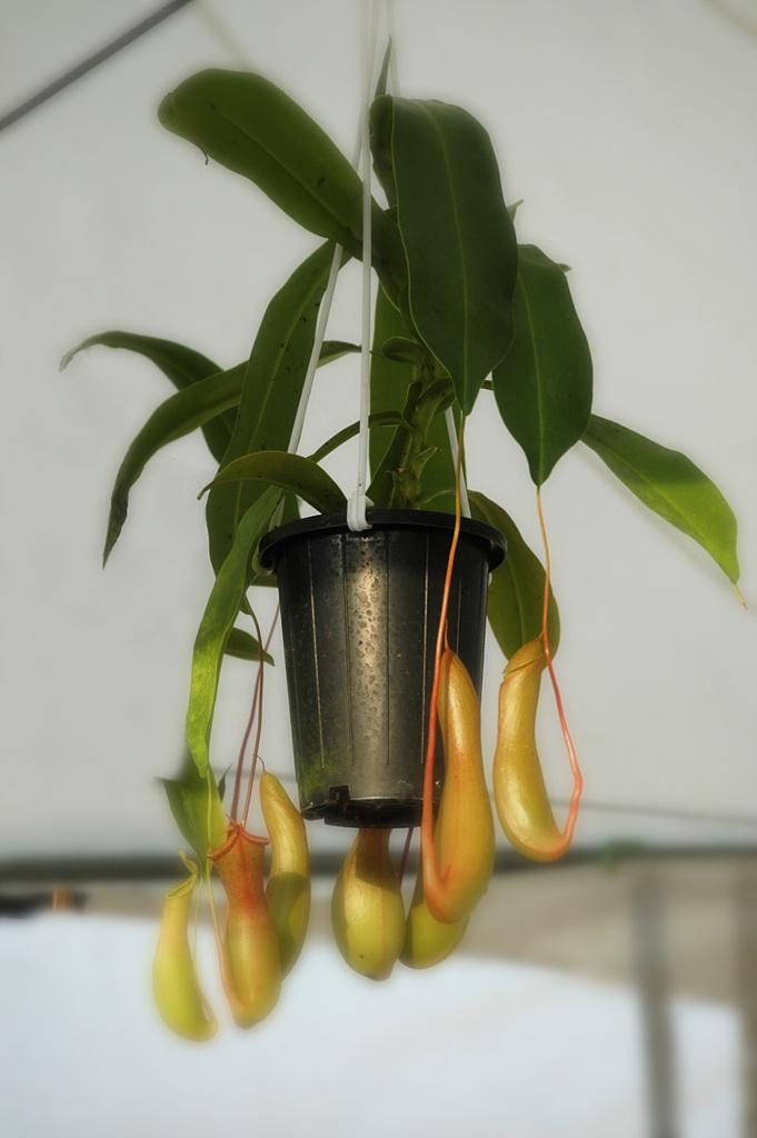 네펜데스, Nepenthes