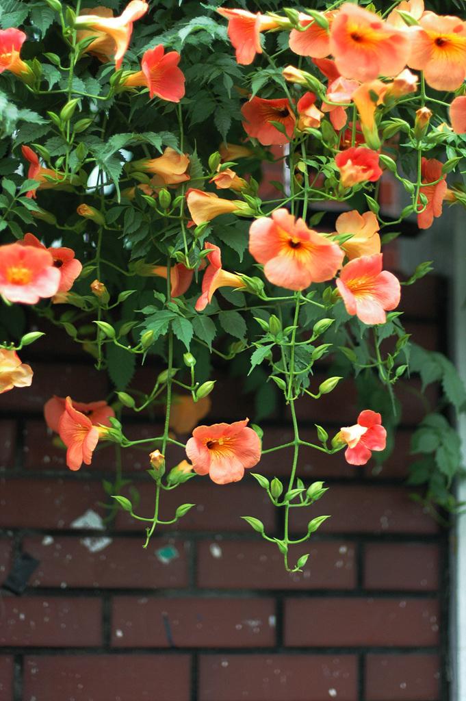 능소화, Campsis grandifolia (Thunb.) K.Schum.