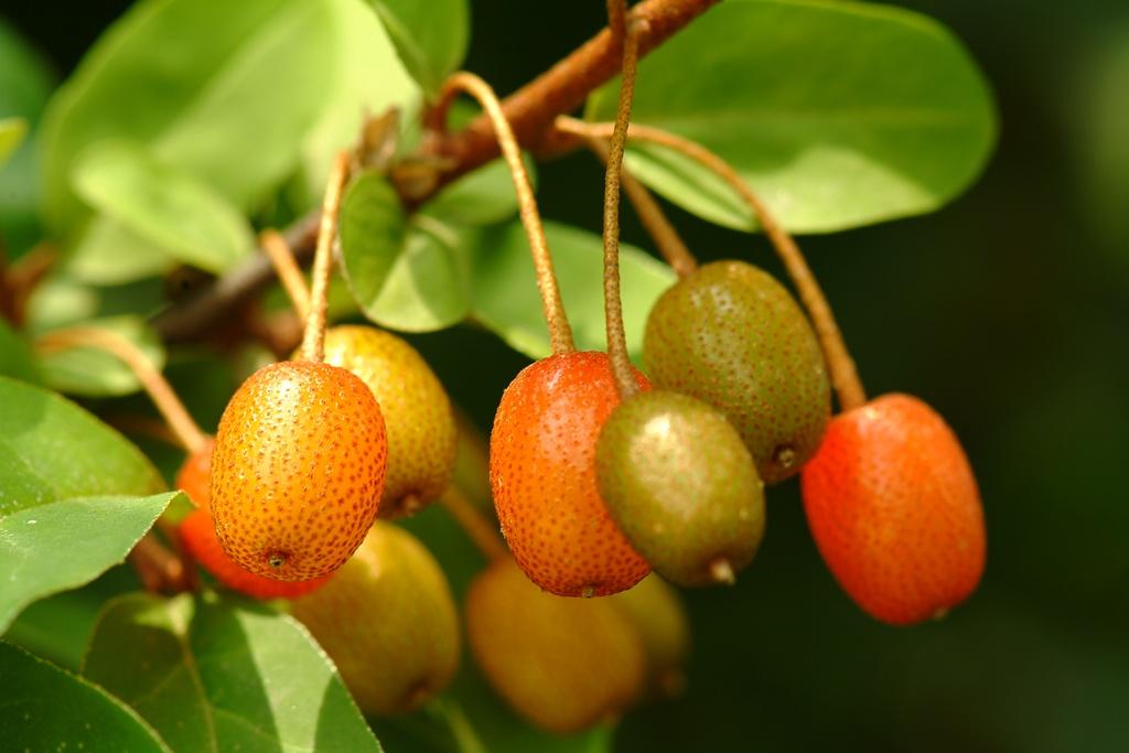 보리수나무, Elaeagnus umbellata Thunb.