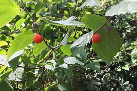 http://www.treeinfo.net/data/file/ti_gallery/thumb-2001093550_G2prtFEw_eaaac2900a2a12cf2e0a900fb12d14a3da0d5589_270x180.jpg