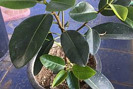 프랑스고무나무