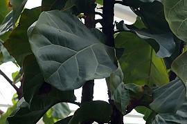 떡갈잎고무나무