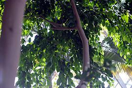 벤자민고무나무