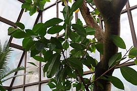 쟈바고무나무