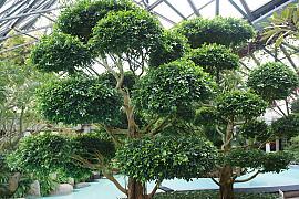 대만고무나무