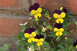 삼색제비꽃