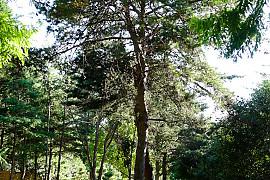 구주소나무