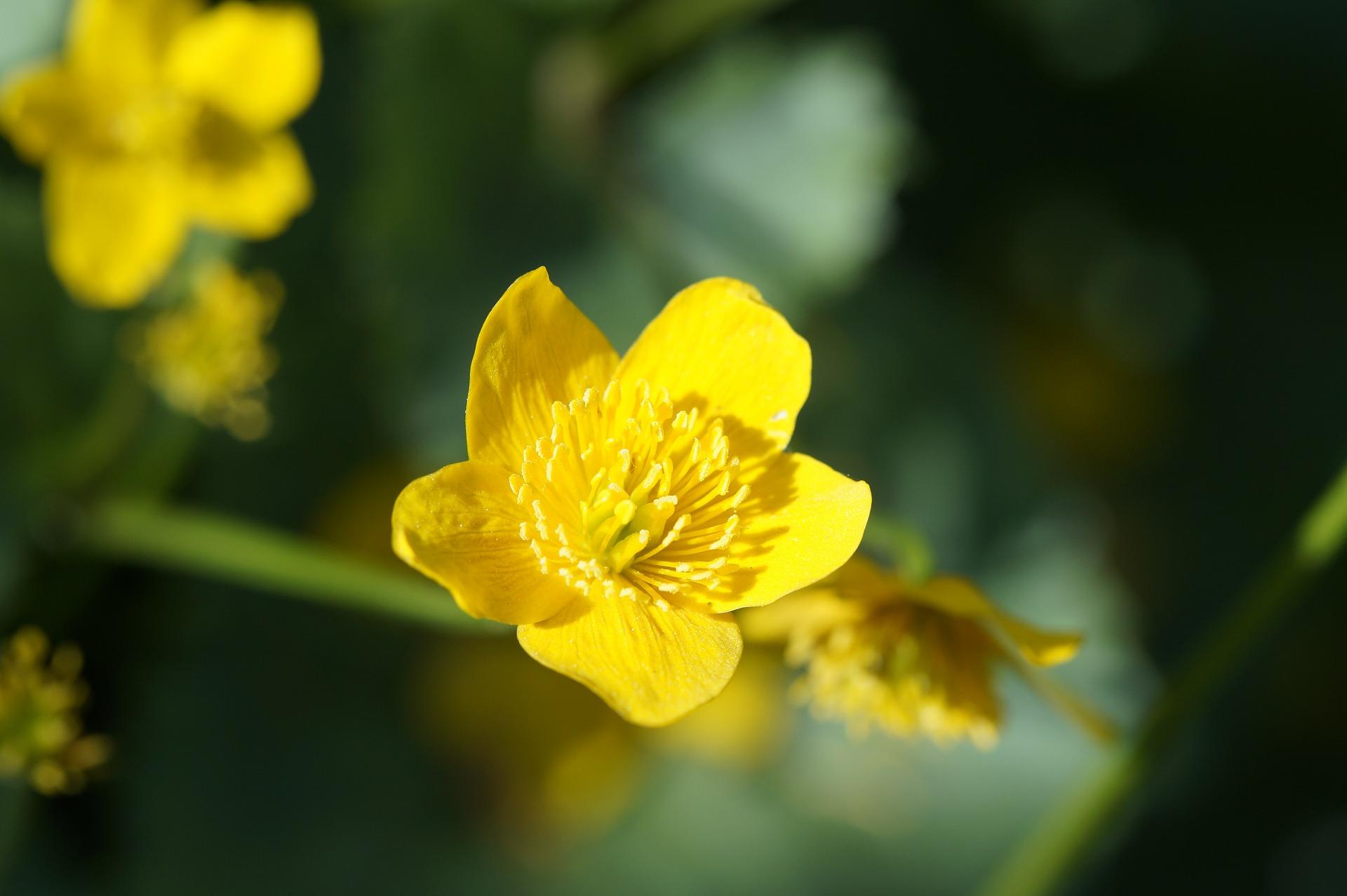 동의나물, Caltha palustris var