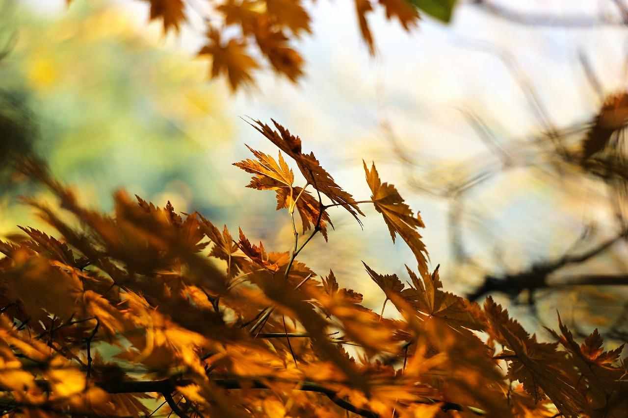 단풍나무, Acer palmatum Thunb. ex Murray