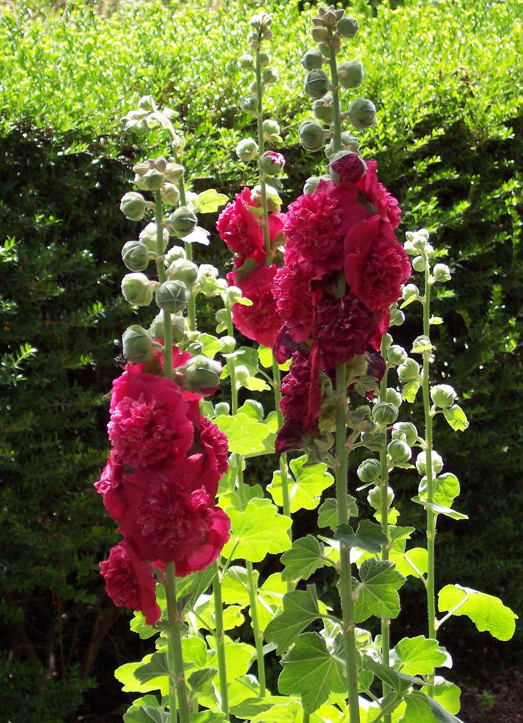 겹접시꽃, Althaea rosea