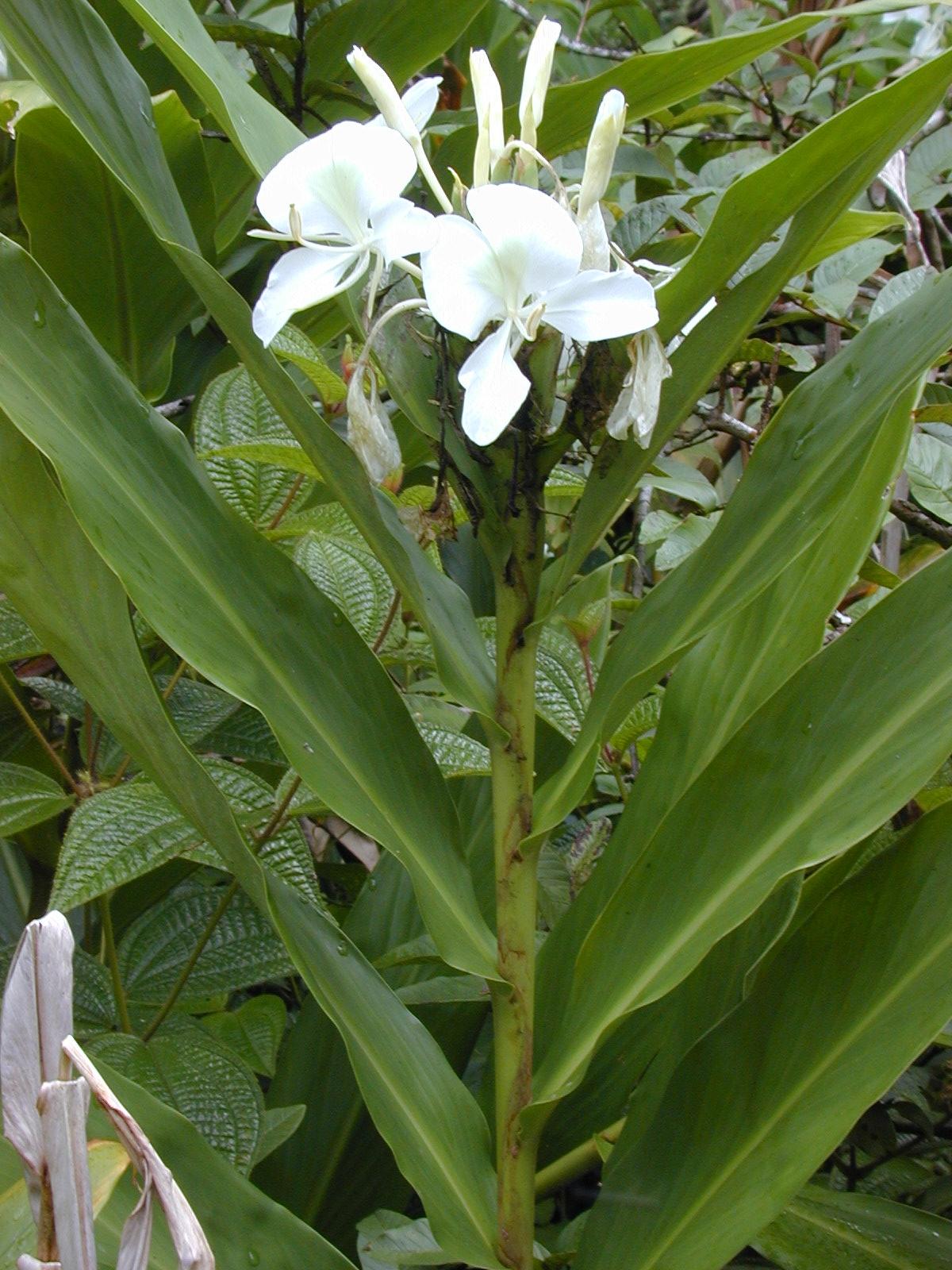 꽃생강, Hedychium coronarium J.Konig