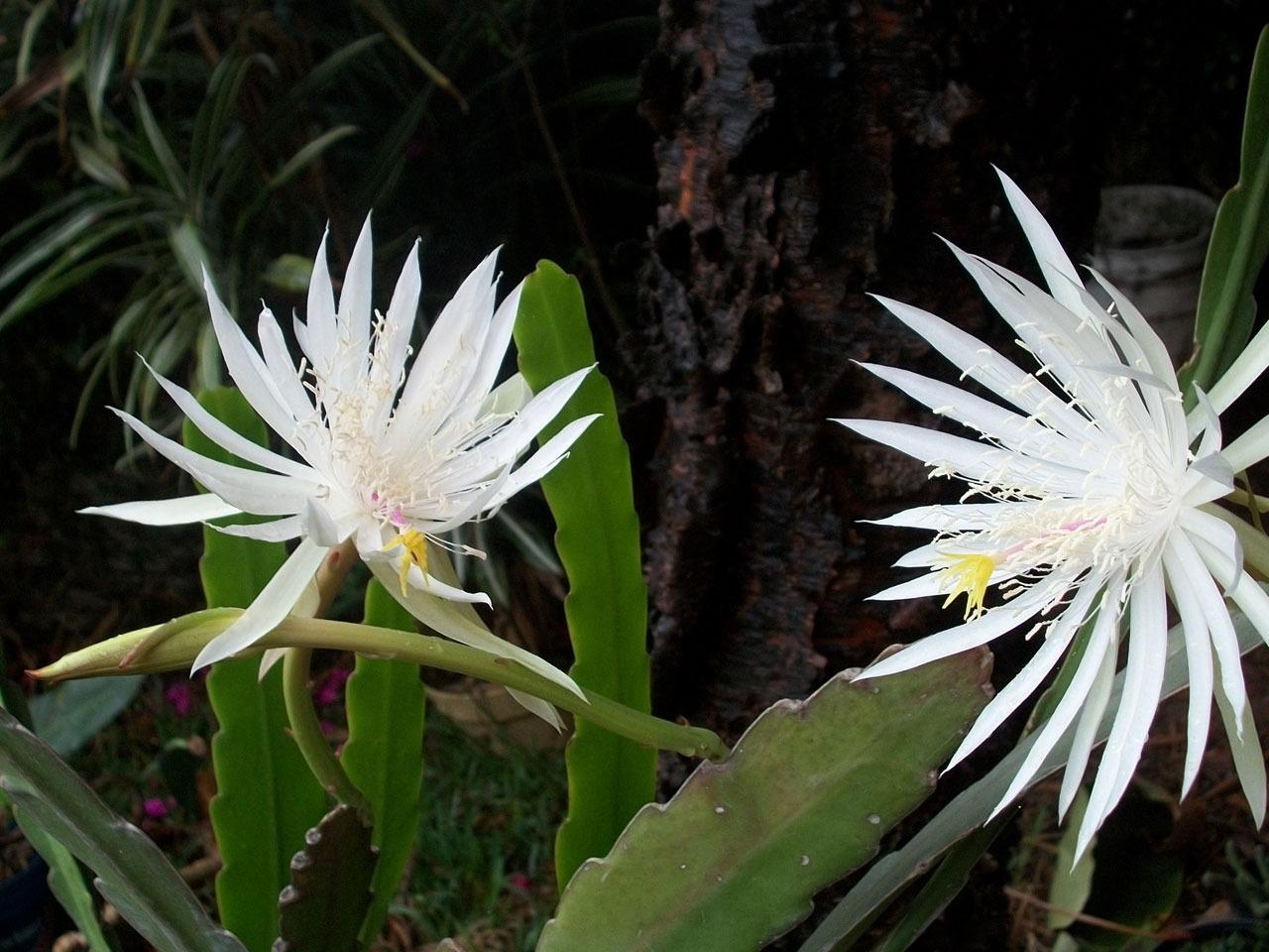 월하미인, Epiphyllum oxypetalum