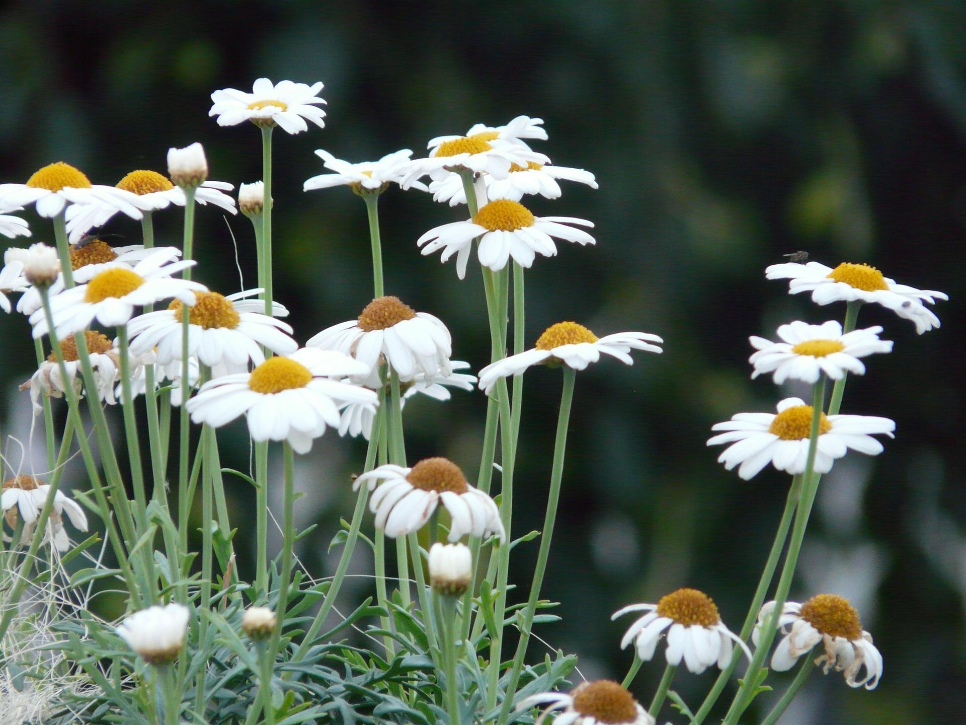 마아가렛, Argyranthemum frutescens